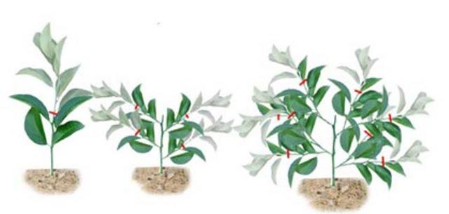 Как сформировать крону дерева в домашних условиях 805