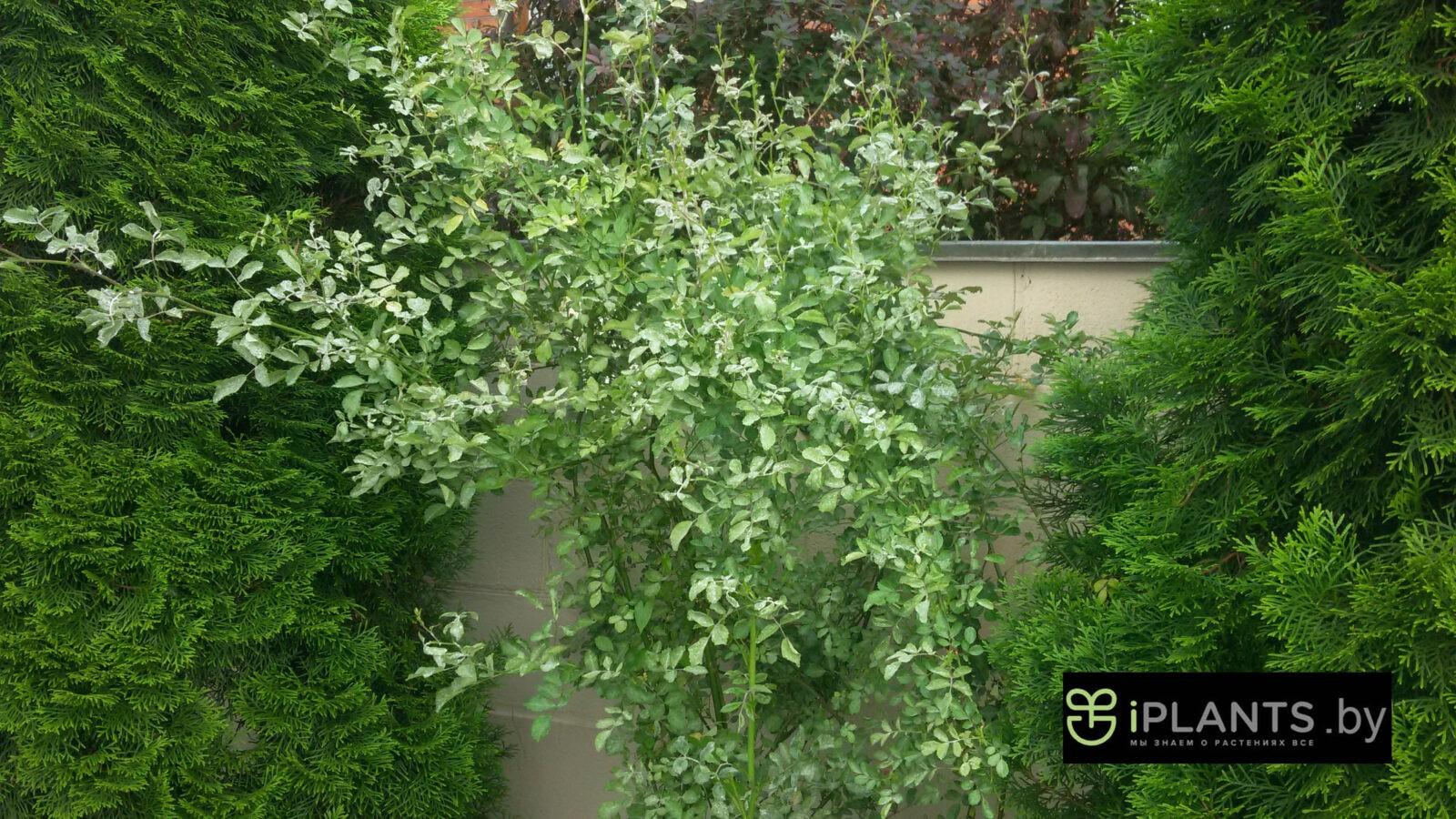 Как избавиться от мучнистой росы на флоксах Что делать с белым налетом на листьях Чем обработать и какие меры борьбы выбрать