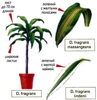 Драцена — уход в домашних условиях (фото), как цветет комнатное растение и как ухаживать за деревом счастья чтоб оно цвело