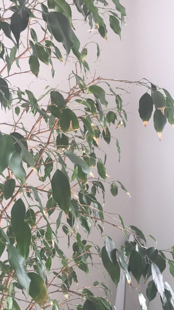 Фикус бенджамина сбрасывает листья что делать. Желтеют и опадают