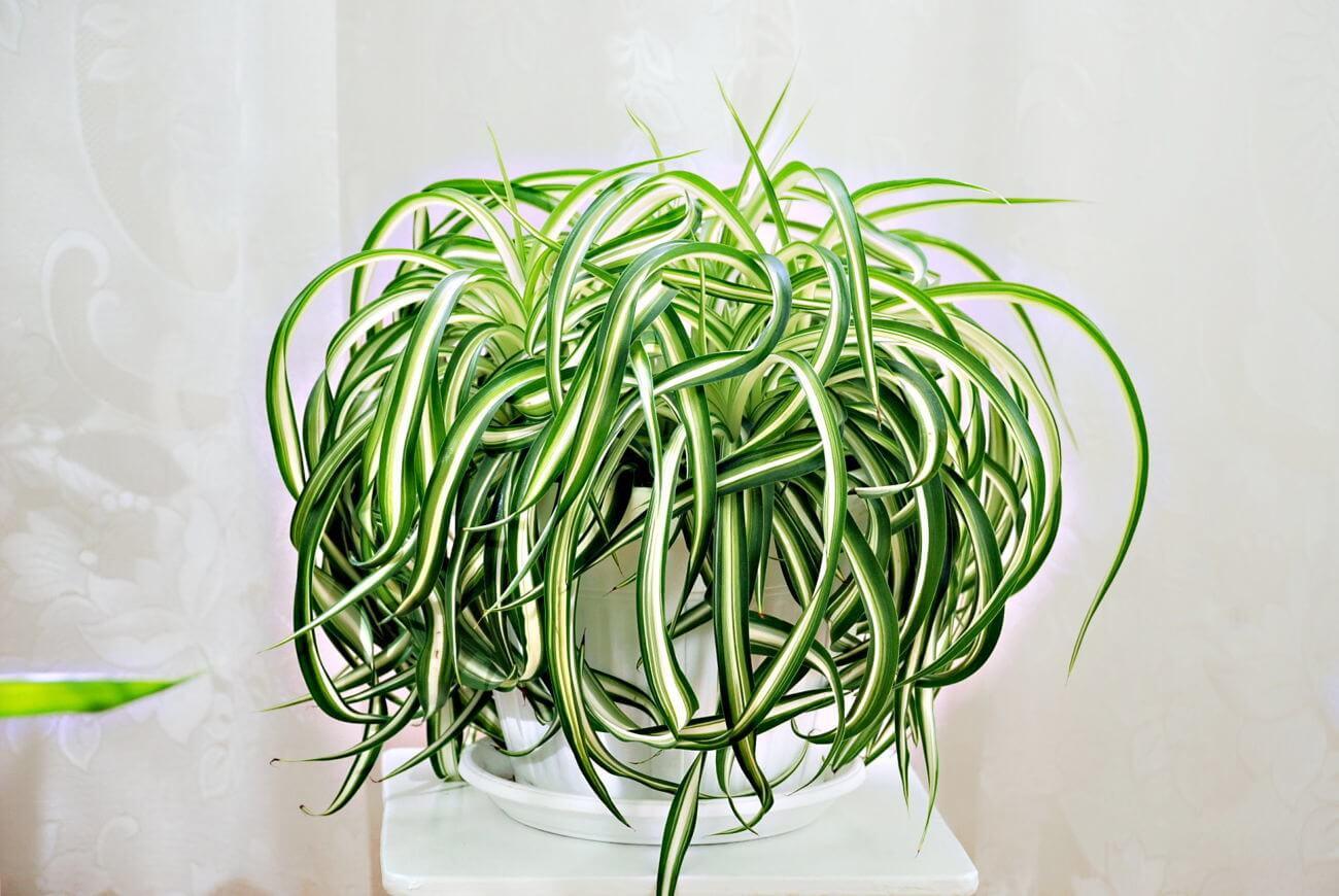 Неприхотливое растение Хлорофитум