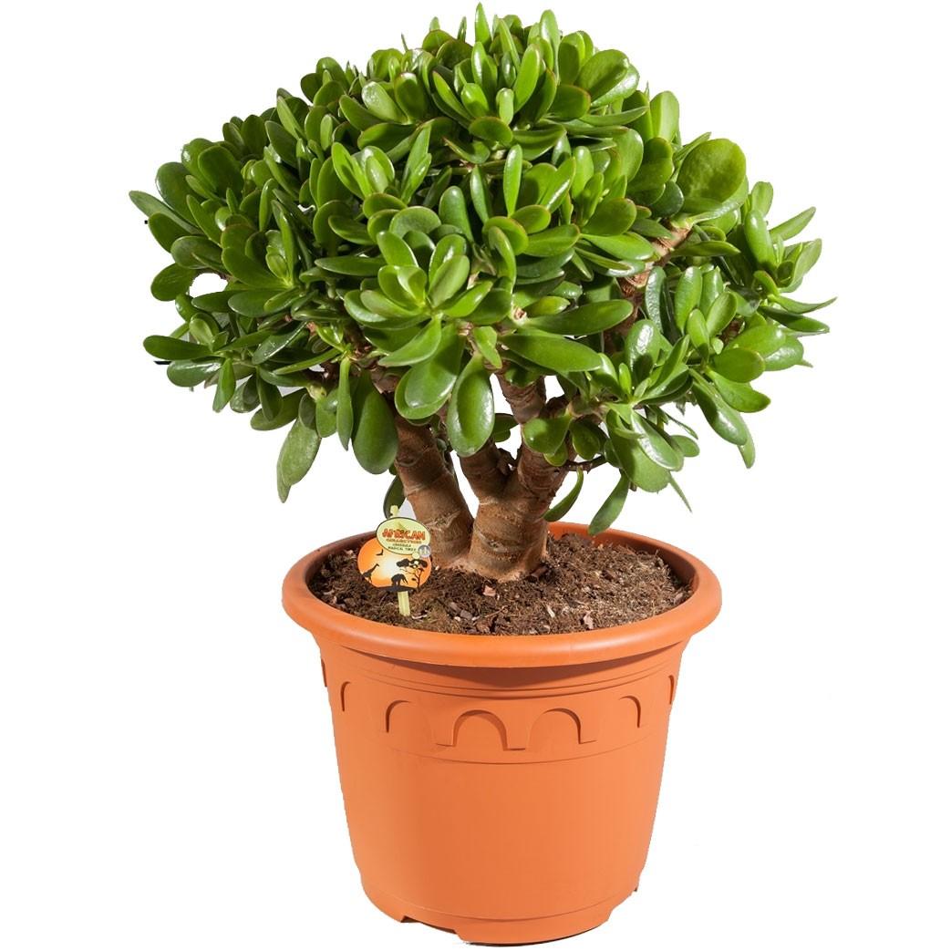 Неприхотливое растение Крассула Овата или денежное дерево
