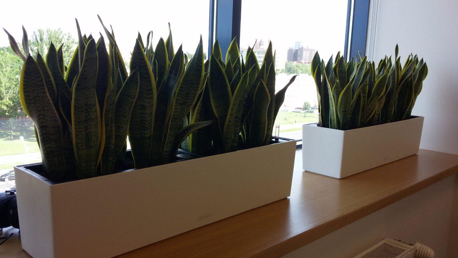 Неприхотливое комнатное растение Сансевиерия