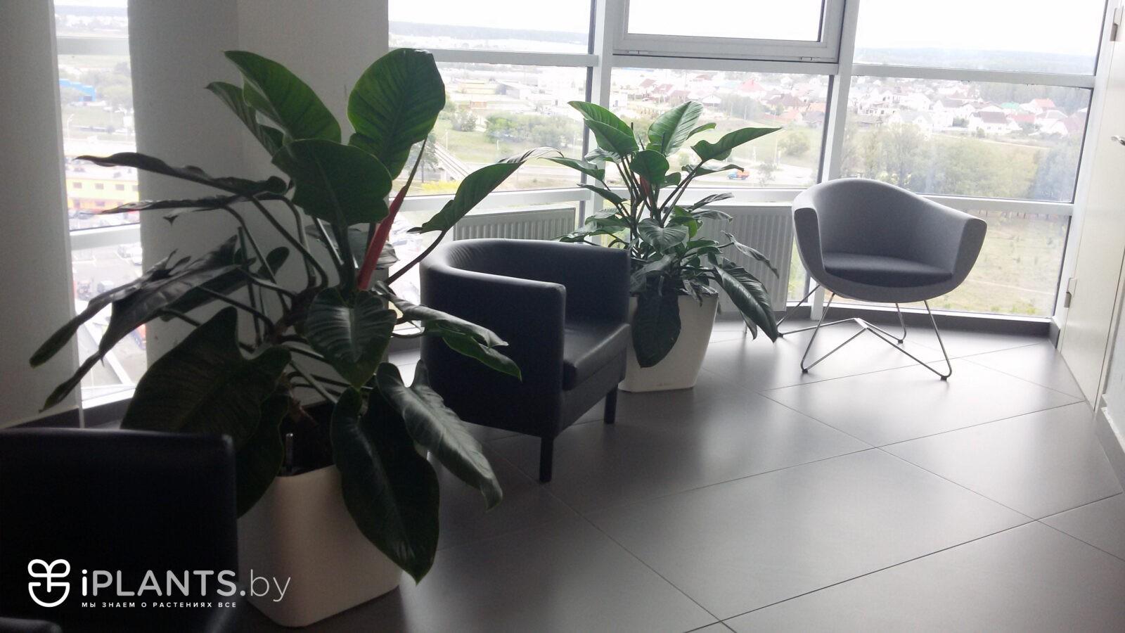 филодендрон в офисе