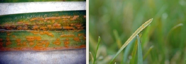 Ржавчина болезнь газона