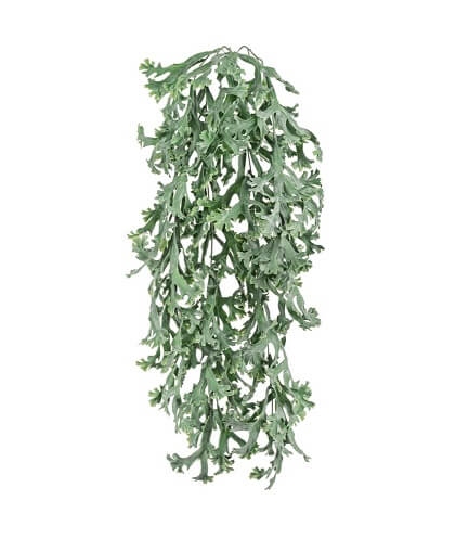 Стегхорн Хилии (Оленьи рога) куст ампельный фото