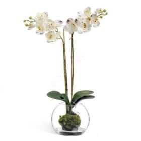 Орхидея Фаленопсис (белая с фиолетовым) фото