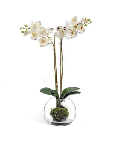 Орхидея Фаленопсис белая с фиолетовым фото