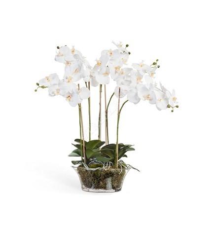 Орхидея Фаленопсис белая фото