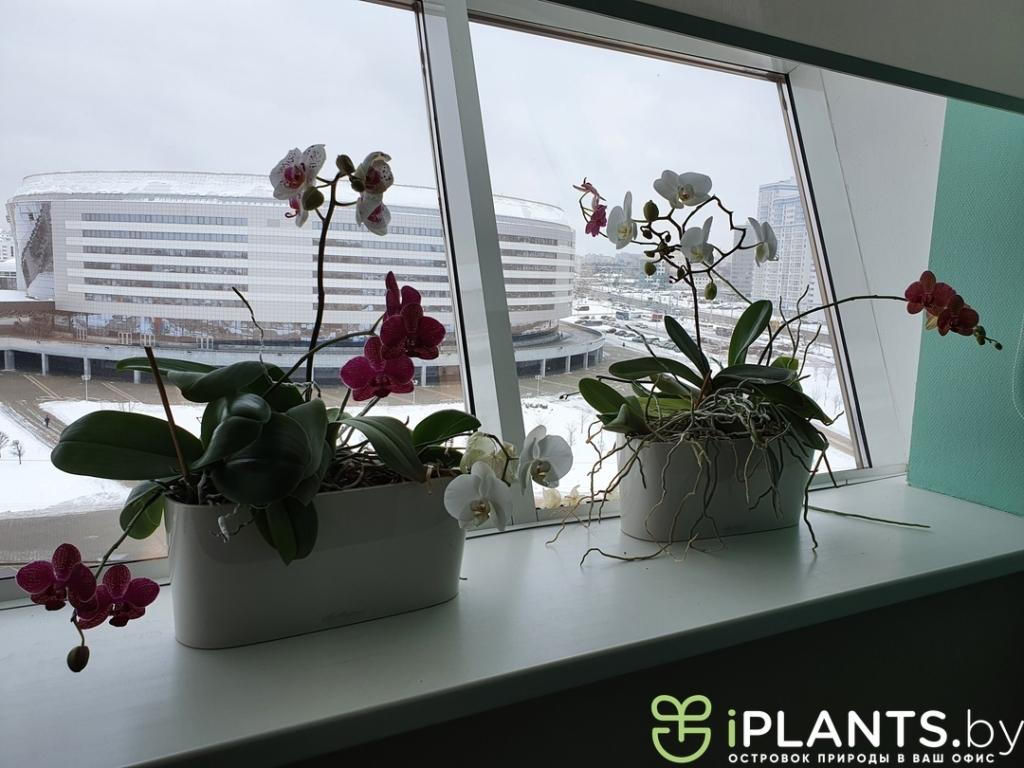 Орхидеи в кашпо lechuza delta 20 в минском офисе