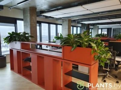 Зеленые перегородки из аглаонем и эпипремнума в офисе