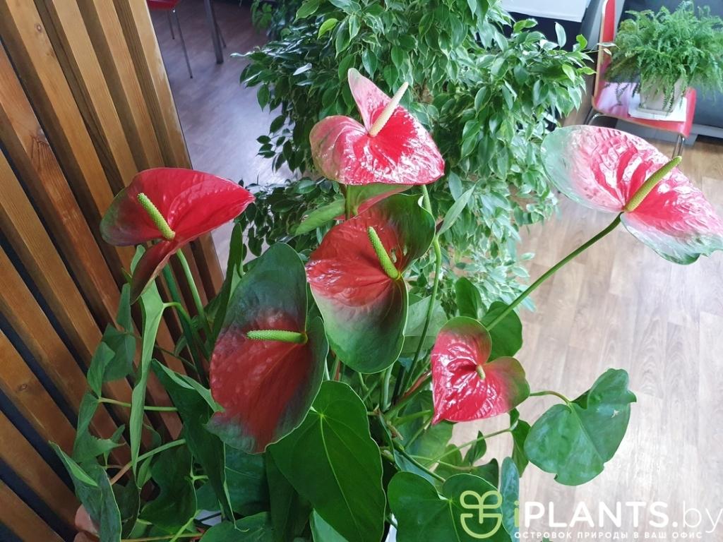 Больший цветы Антуриум сорта Чемпион в минском офисе нашего клиента