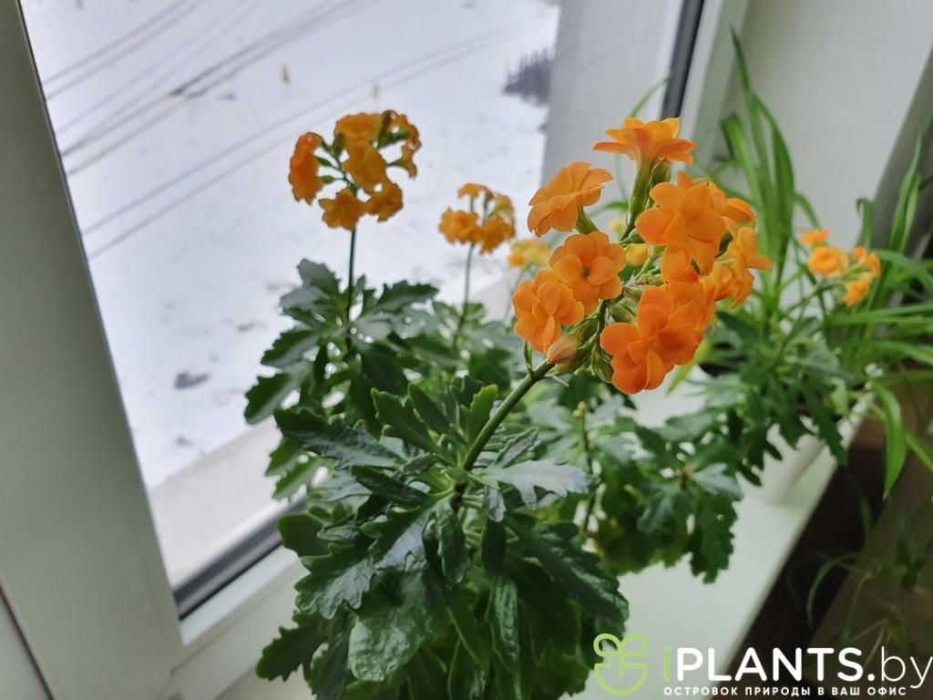 Цветение каланхоэ в офисе