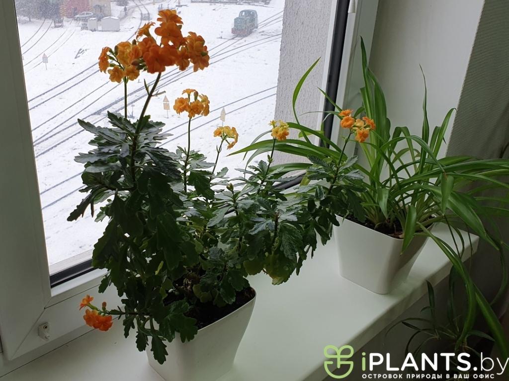 Цветение каланхоэ у нашего клиента