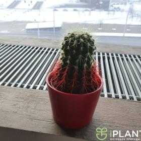 крашенное растение в офисе кактус