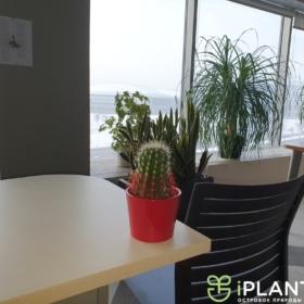 крашенное растение в офисе кактус на столе