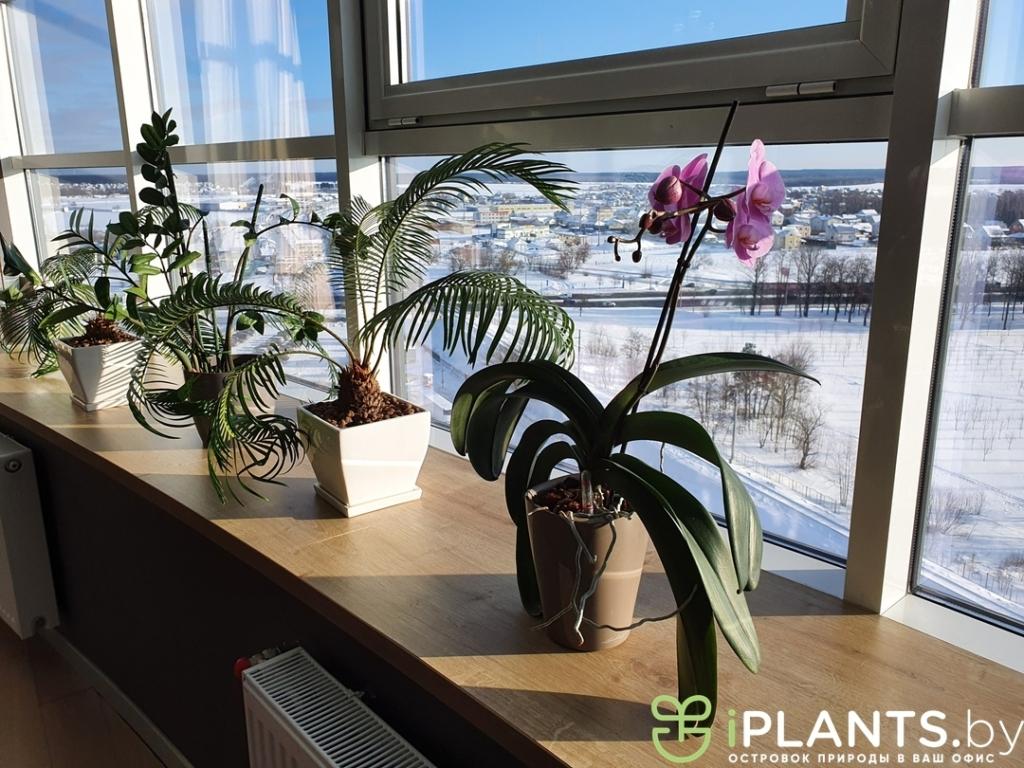 Орхидеи в кашпо lechuza deltini в офисе