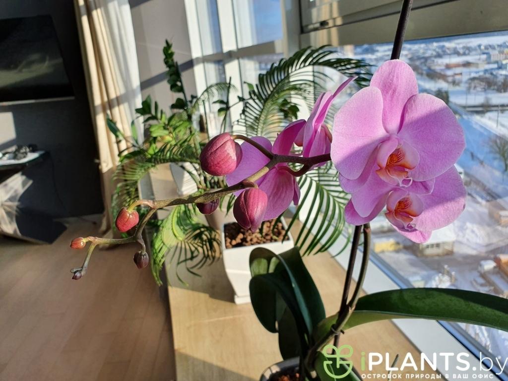Орхидеи в кашпо lechuza deltini в офисе нашего клиента