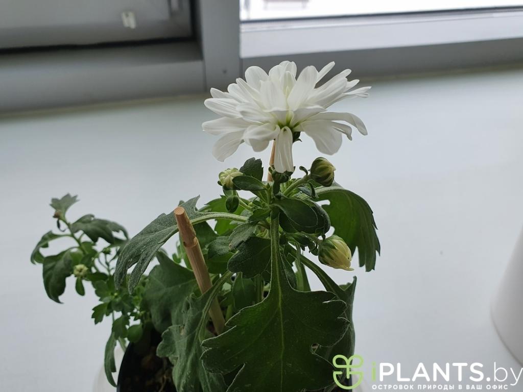 Хризантема начала цвести в офисе