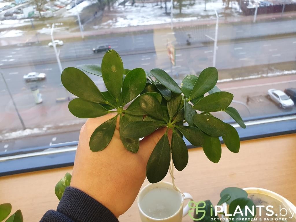 листья шефлеры хорошо укореняются