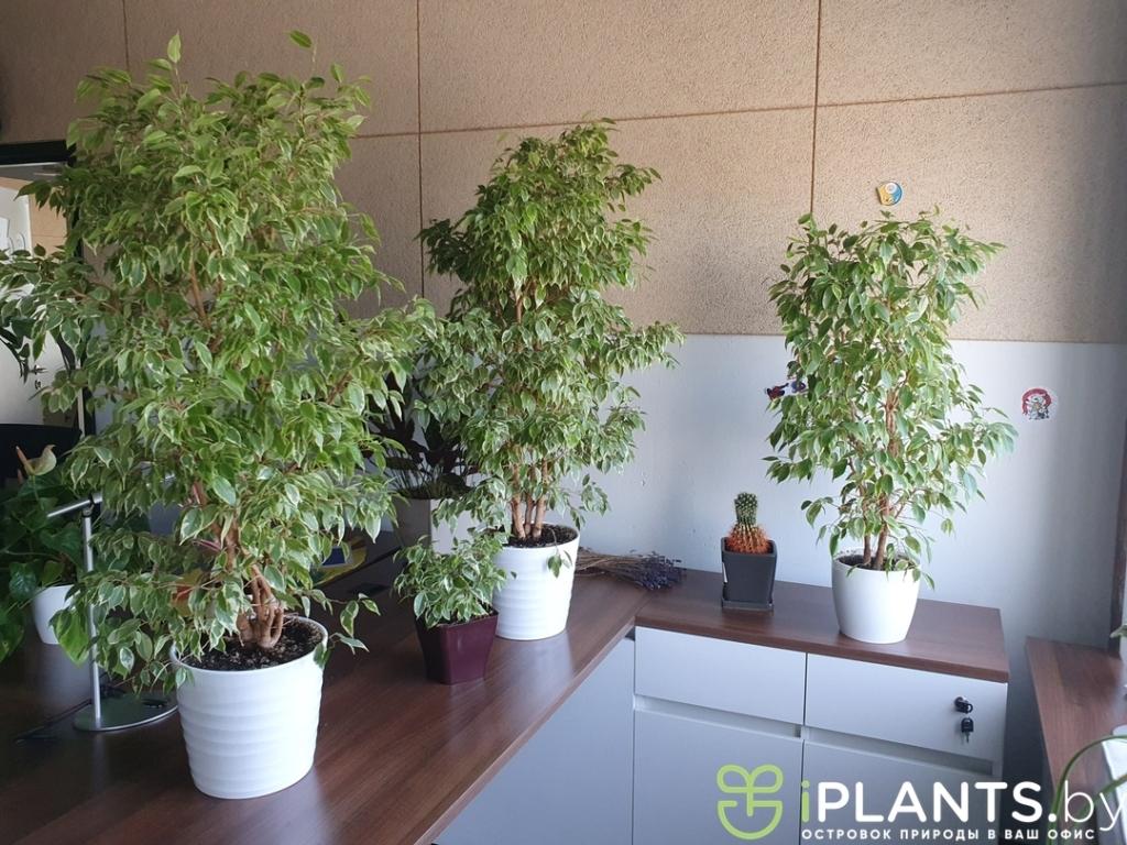 Фото профиля iplants.by iplants.by Любимые офЗа 6 лет фикус кинки превратился в дерево в минском офисе