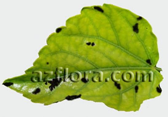 черные пятна на листе гибискуса