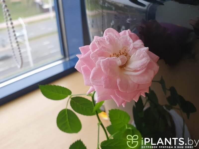 цветение розы в минском офисе