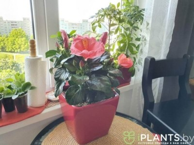 гибискус цветёт в офисе