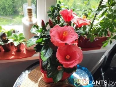 гибискус цветёт в офисе клиента