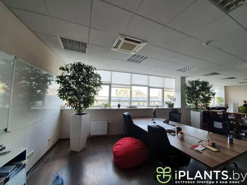 стриженое дерево фикус в офисе в Минске