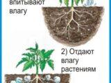 vyraschivanie-kartofelya