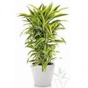 продажа офисных и комнатных растений